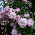 como_podar_rosal_matorral_jardineria_marve