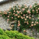 Cómo podar un rosal trepador