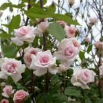 como_podar_rosales_Jardineria_Marve