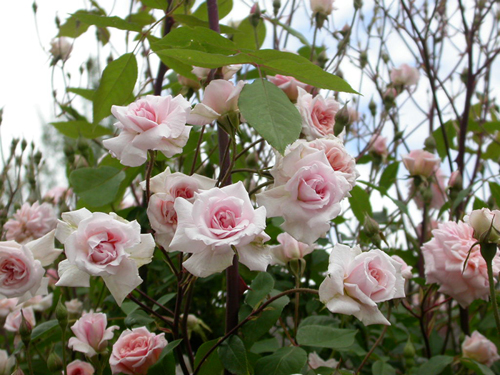 C mo podar un rosal jardinera marve for Jardineria rosales