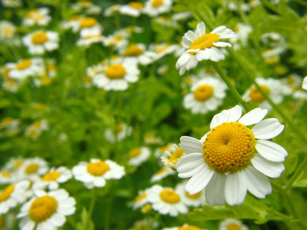 Las 10 principales plantas medicinales y sus propiedades for Planta decorativa con propiedades medicinales