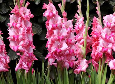 Gladiolos-fuertes-y-bonitos-1