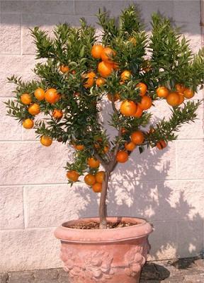 naranjo-maceta-marve